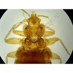 K1842-Phthiraptera-cimex-lectularis-WM-bed-bug.jpg